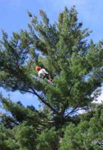 Tree pruning in Halifax