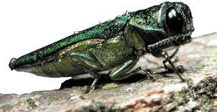 Emerald Ash Borer side